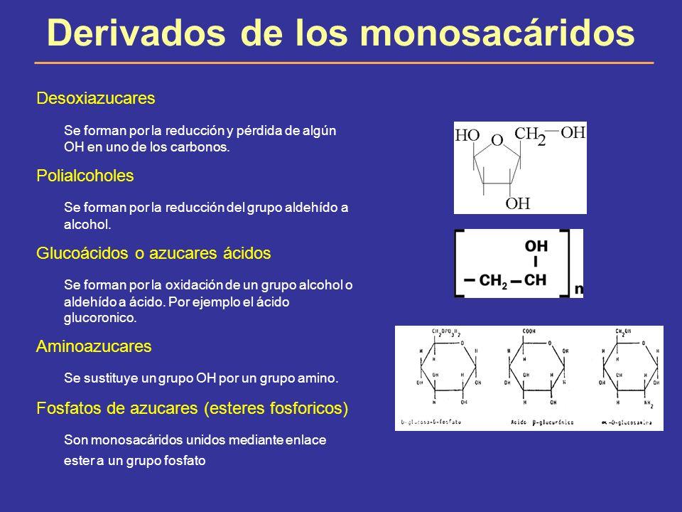 Derivados de los monosacáridos Desoxiazucares Se forman por la reducción y pérdida de algún OH en uno de los carbonos. Polialcoholes Se forman por la