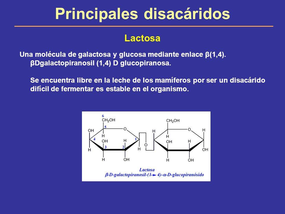 Principales disacáridos Lactosa Una molécula de galactosa y glucosa mediante enlace β(1,4). βDgalactopiranosil (1,4) D glucopiranosa. Se encuentra lib