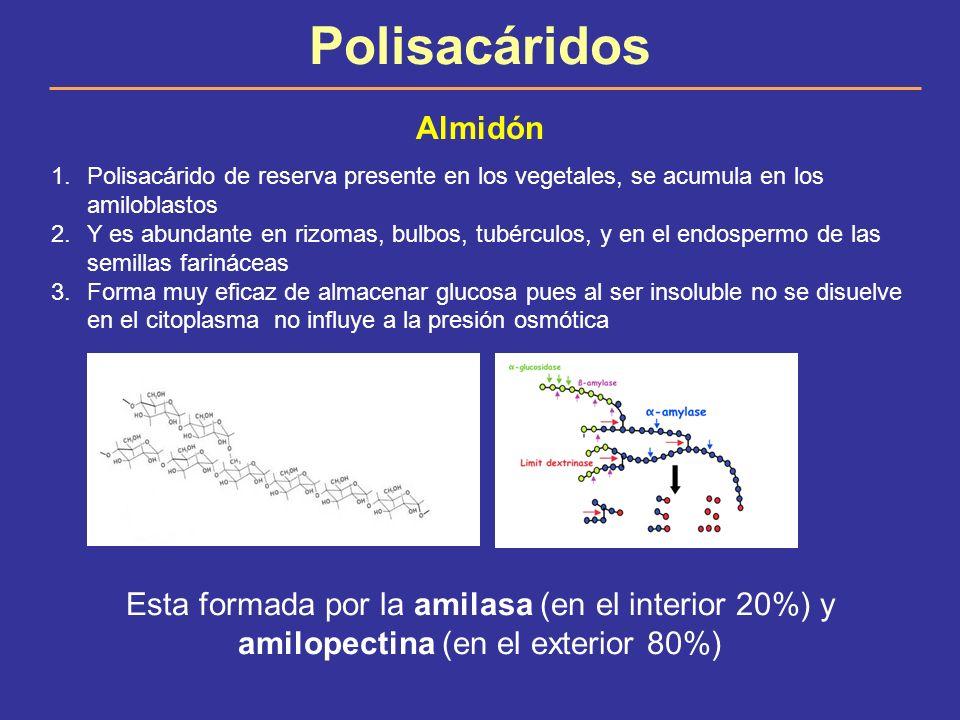 Polisacáridos Almidón 1.Polisacárido de reserva presente en los vegetales, se acumula en los amiloblastos 2.Y es abundante en rizomas, bulbos, tubércu