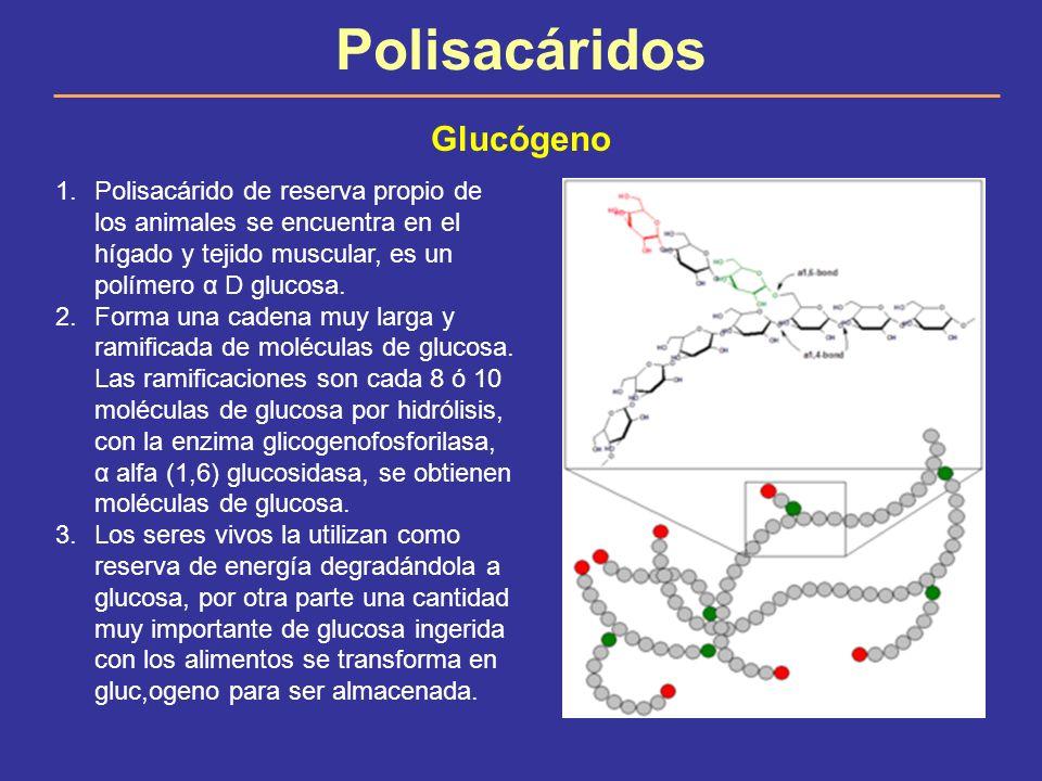 Polisacáridos Glucógeno 1.Polisacárido de reserva propio de los animales se encuentra en el hígado y tejido muscular, es un polímero α D glucosa. 2.Fo