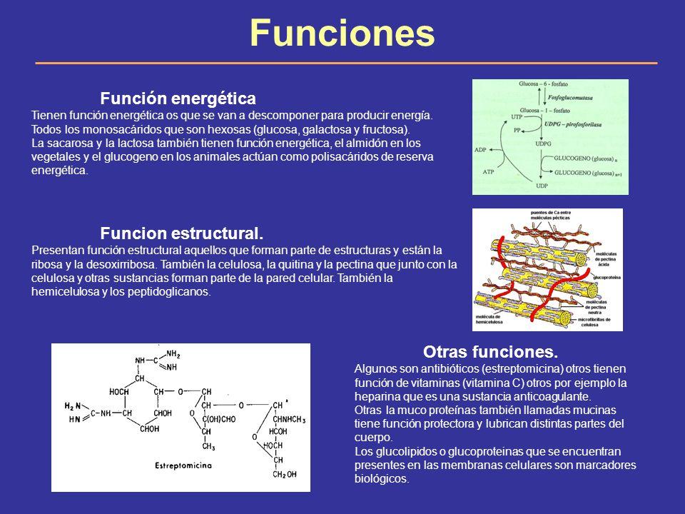 Funciones Función energética Tienen función energética os que se van a descomponer para producir energía. Todos los monosacáridos que son hexosas (glu