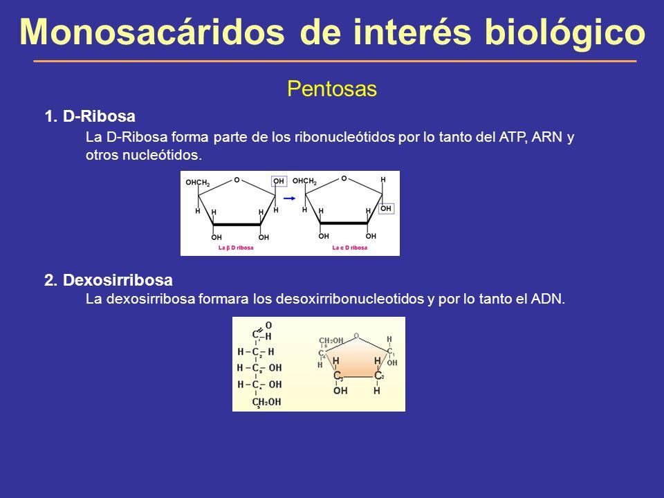 Monosacáridos de interés biológico Pentosas 1. D-Ribosa La D-Ribosa forma parte de los ribonucleótidos por lo tanto del ATP, ARN y otros nucleótidos.