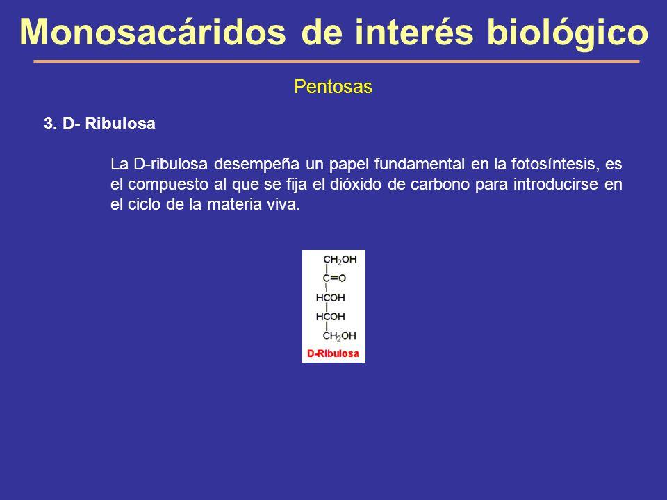 Monosacáridos de interés biológico Pentosas 3. D- Ribulosa La D-ribulosa desempeña un papel fundamental en la fotosíntesis, es el compuesto al que se