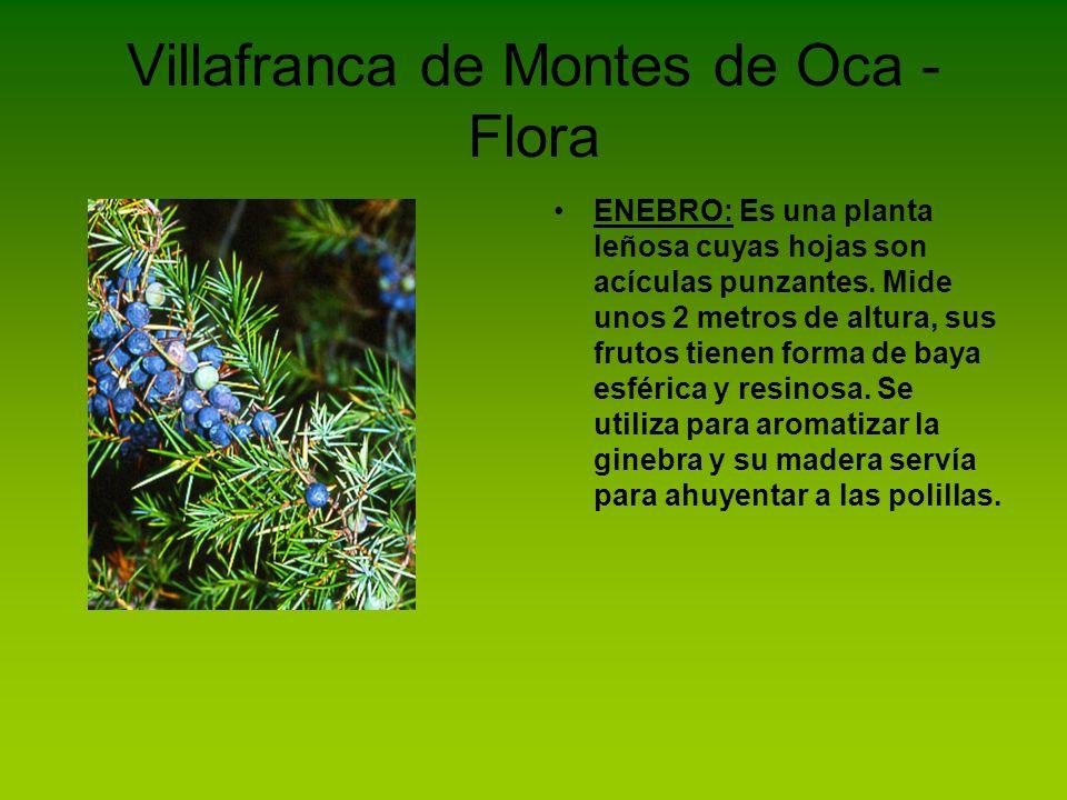 Villafranca de Montes de Oca - Flora ENEBRO: Es una planta leñosa cuyas hojas son acículas punzantes. Mide unos 2 metros de altura, sus frutos tienen
