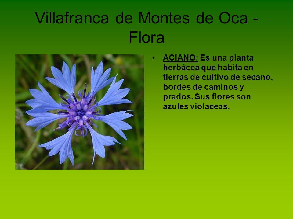 Villafranca de Montes de Oca - Flora ACIANO: Es una planta herbácea que habita en tierras de cultivo de secano, bordes de caminos y prados. Sus flores
