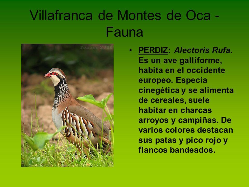 Villafranca de Montes de Oca - Fauna PERDIZ: Alectoris Rufa. Es un ave galliforme, habita en el occidente europeo. Especia cinegética y se alimenta de