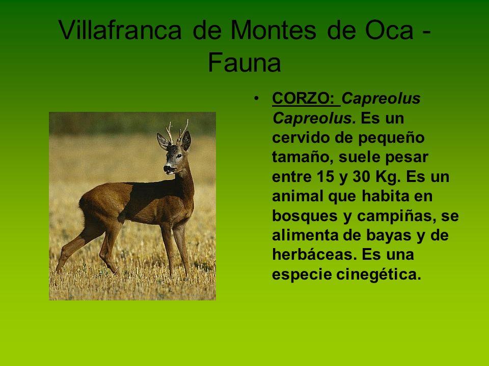 Villafranca de Montes de Oca - Fauna CORZO: Capreolus Capreolus. Es un cervido de pequeño tamaño, suele pesar entre 15 y 30 Kg. Es un animal que habit