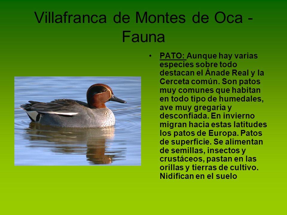 Villafranca de Montes de Oca - Fauna PATO: Aunque hay varias especies sobre todo destacan el Ánade Real y la Cerceta común. Son patos muy comunes que