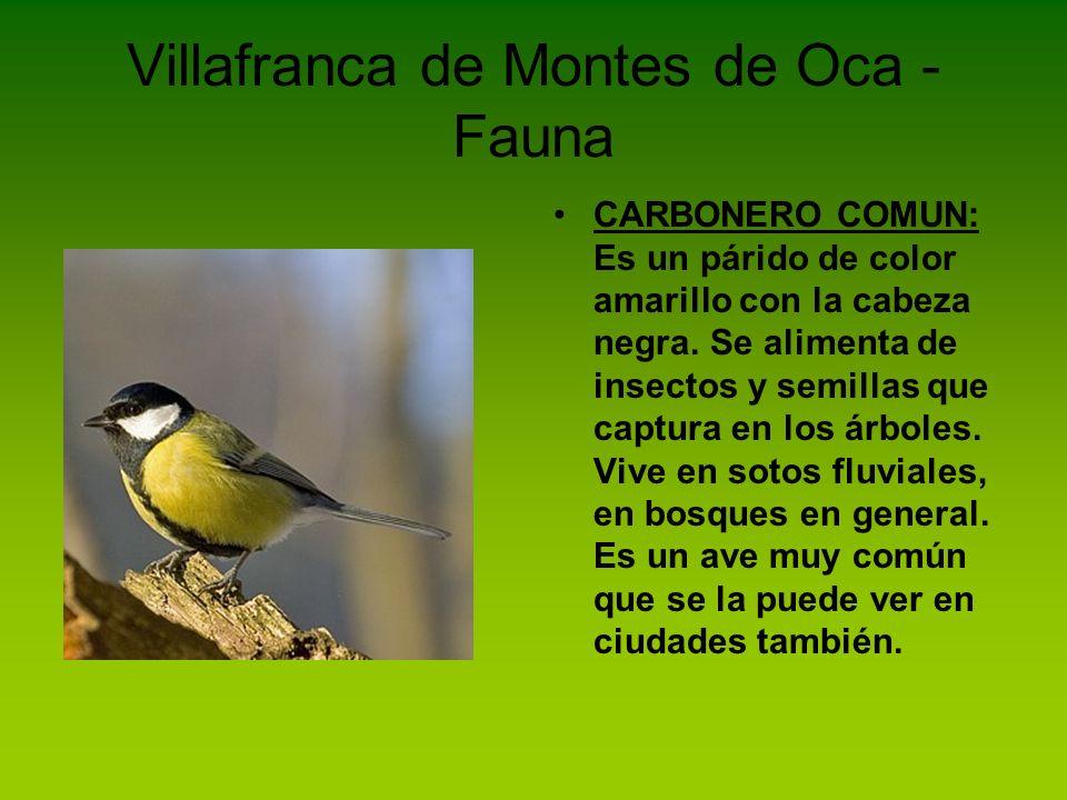 Villafranca de Montes de Oca - Flora HAYA: es un árbol caducifolio que alcanza los 30 o 45 metros de altura.
