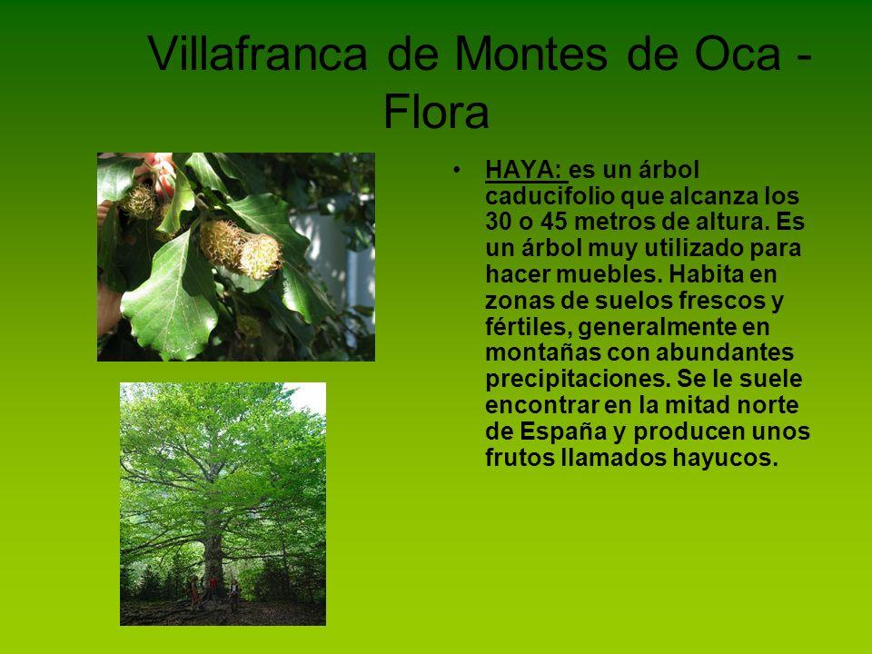 Villafranca de Montes de Oca - Flora HAYA: es un árbol caducifolio que alcanza los 30 o 45 metros de altura. Es un árbol muy utilizado para hacer mueb