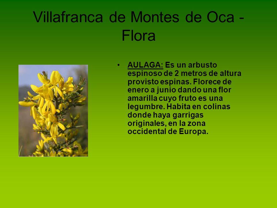 Villafranca de Montes de Oca - Flora ENDRINO: Arbusto caducifolio muy enmarañado y espinoso que puede medir hasta 4 metros de altura.