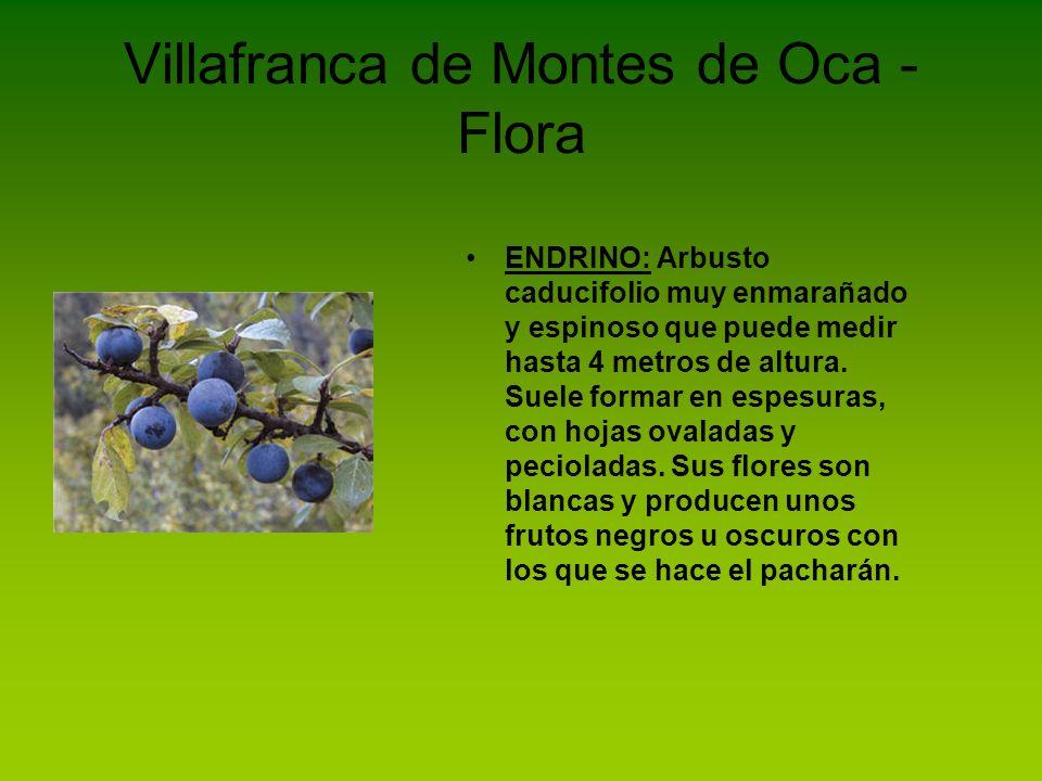 Villafranca de Montes de Oca - Flora ENEBRO: Es una planta leñosa cuyas hojas son acículas punzantes.