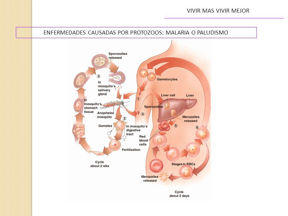 ENFERMEDADES CAUSADAS POR PROTOZOOS: MALARIA O PALUDISMO VIVIR MAS VIVIR MEJOR