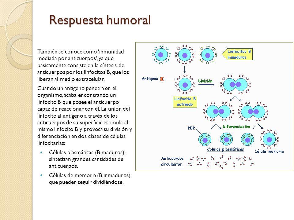 Respuesta humoral También se conoce como 'inmunidad mediada por anticuerpos', ya que básicamente consiste en la síntesis de anticuerpos por los linfoc