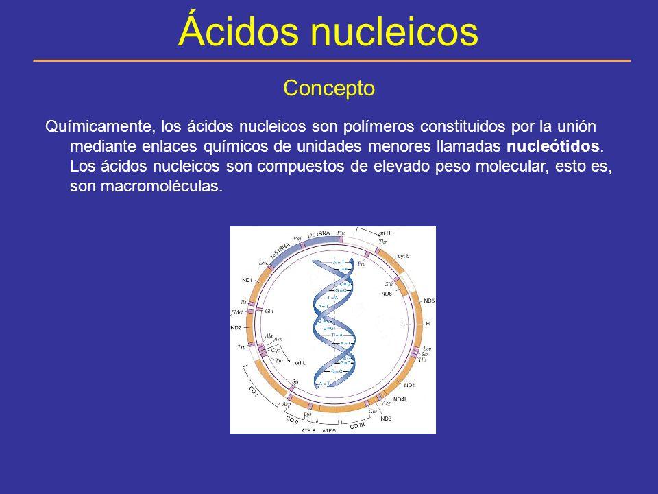 ADN Y ARN El ADN (ácido desoxirribonucleico) sus nucleótidos tienen desoxirribosa como azúcar y no tiene uracilo.