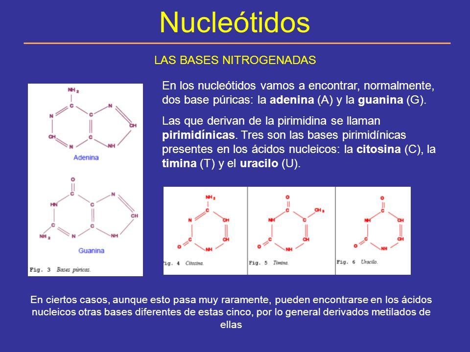 Nucleótidos EL AZÚCAR (GLÚCIDO).