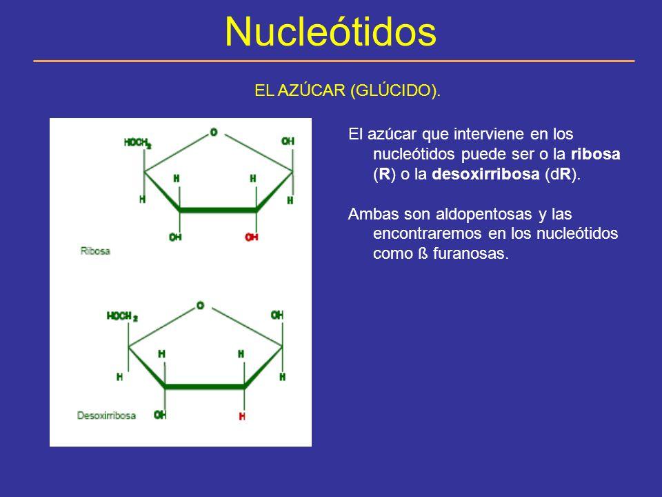 Nucleótidos LOS NUCLEÓSIDOS El azúcar y la base nitrogenada se unen entre sí como se indica en las figuras formando un nucleósido.