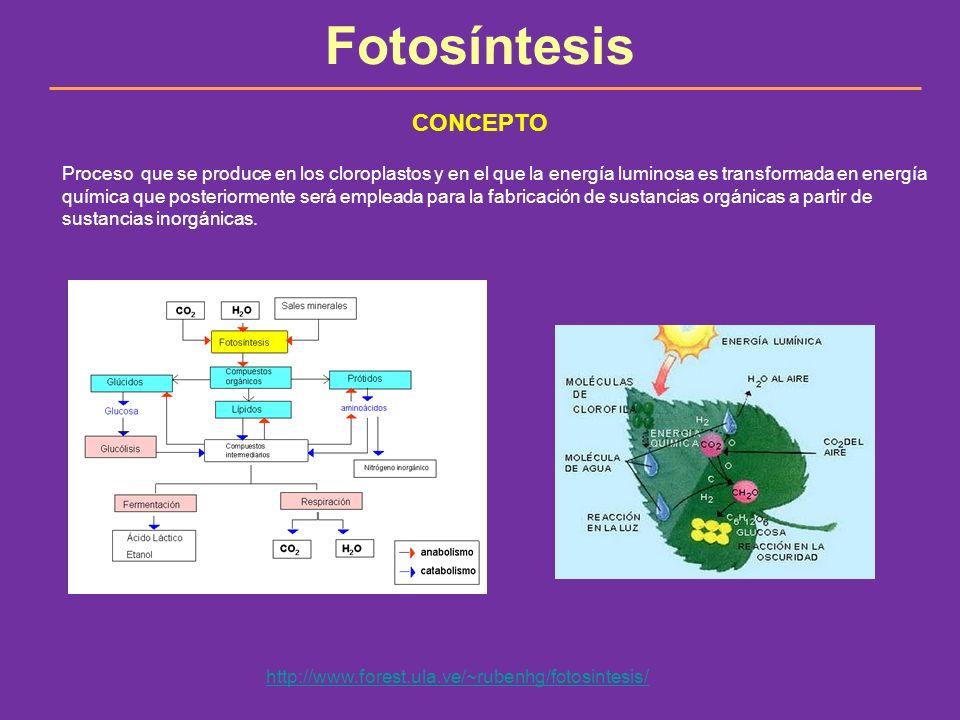 Fotosíntesis Proceso que se produce en los cloroplastos y en el que la energía luminosa es transformada en energía química que posteriormente será emp