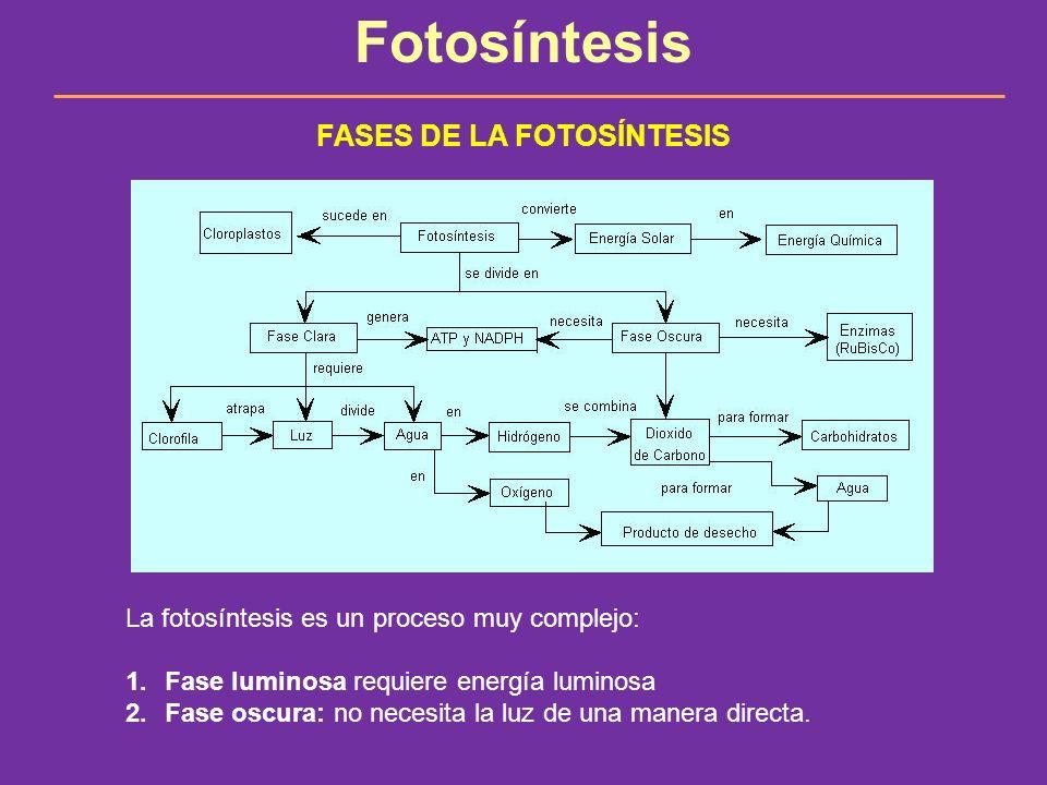 Fotosíntesis FASES DE LA FOTOSÍNTESIS La fotosíntesis es un proceso muy complejo: 1.Fase luminosa requiere energía luminosa 2.Fase oscura: no necesita