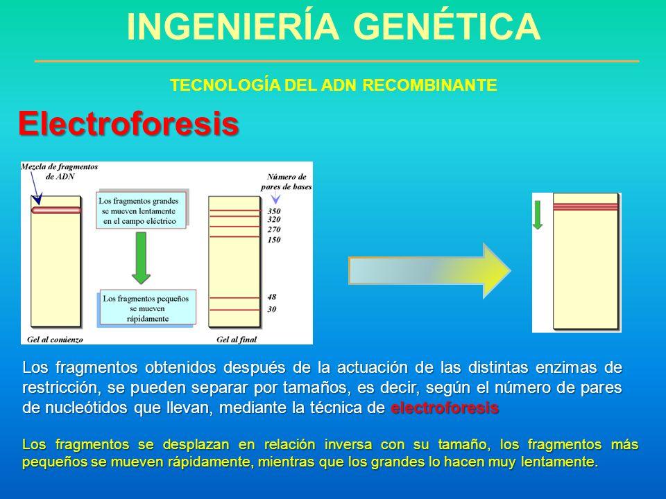 INGENIERÍA GENÉTICA TECNOLOGÍA DEL ADN RECOMBINANTE Electroforesis Los fragmentos obtenidos después de la actuación de las distintas enzimas de restri