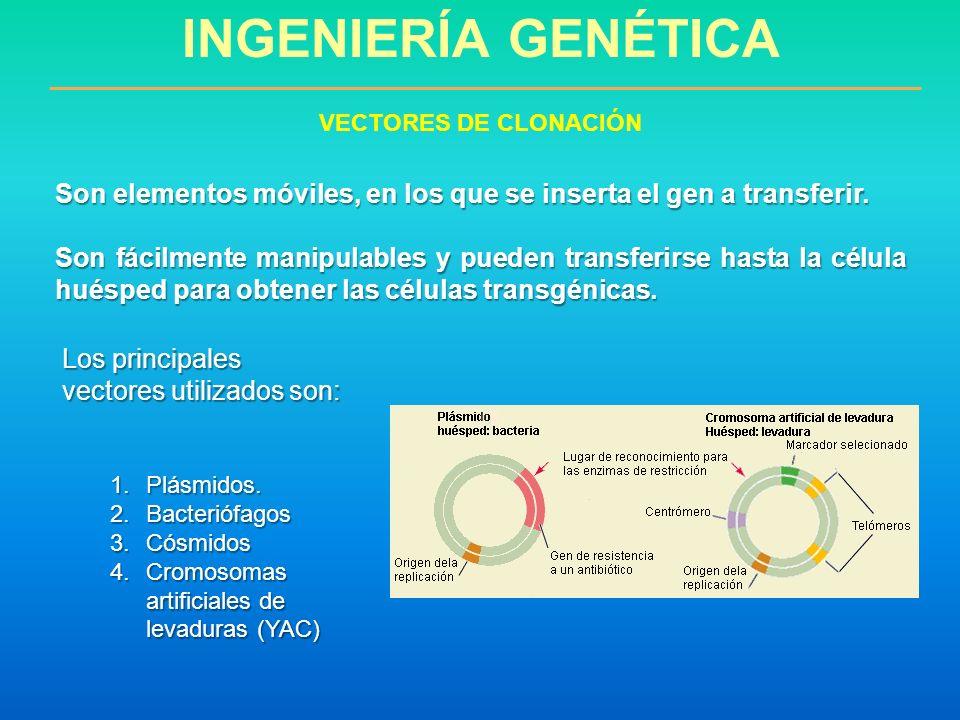 INGENIERÍA GENÉTICA Son elementos móviles, en los que se inserta el gen a transferir. Son fácilmente manipulables y pueden transferirse hasta la célul