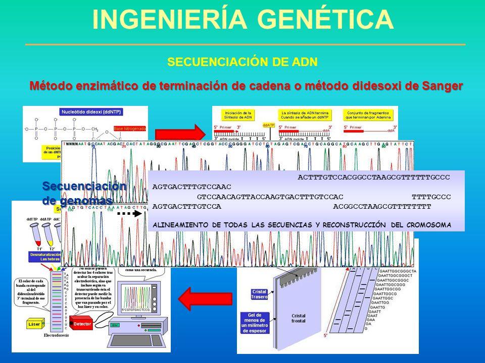 INGENIERÍA GENÉTICA SECUENCIACIÓN DE ADN Método enzimático de terminación de cadena o método didesoxi de Sanger ACTTTGTCCACGGCCTAAGCGTTTTTTGCCC AGTGAC