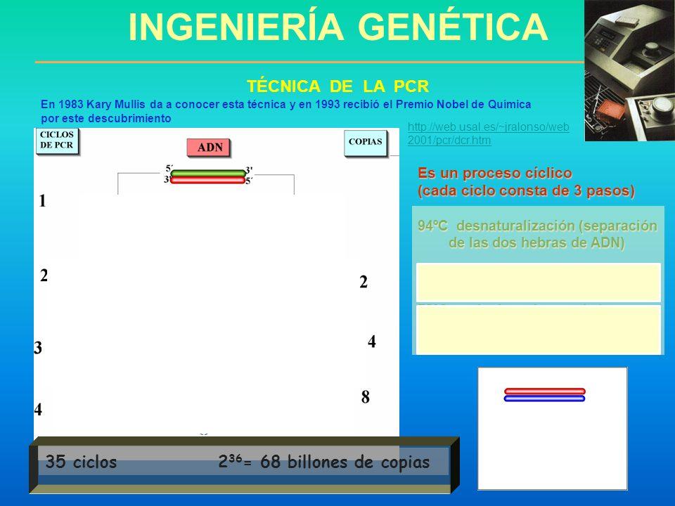 Es un proceso cíclico (cada ciclo consta de 3 pasos) 94ºC desnaturalización (separación de las dos hebras de ADN) de las dos hebras de ADN) 50ºC Anill
