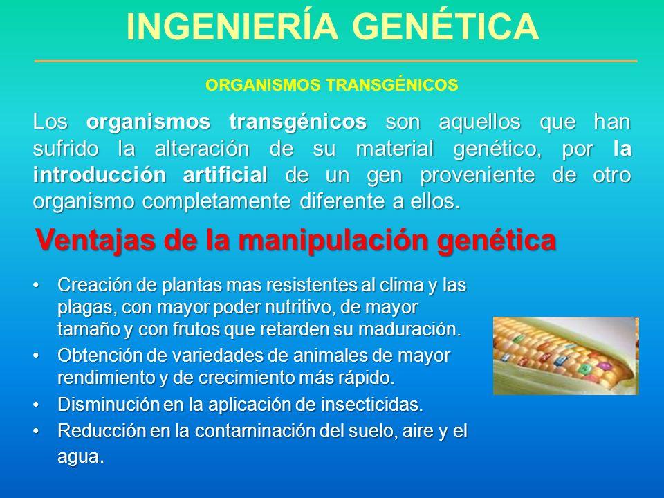 INGENIERÍA GENÉTICA ORGANISMOS TRANSGÉNICOS Los organismos transgénicos son aquellos que han sufrido la alteración de su material genético, por la int