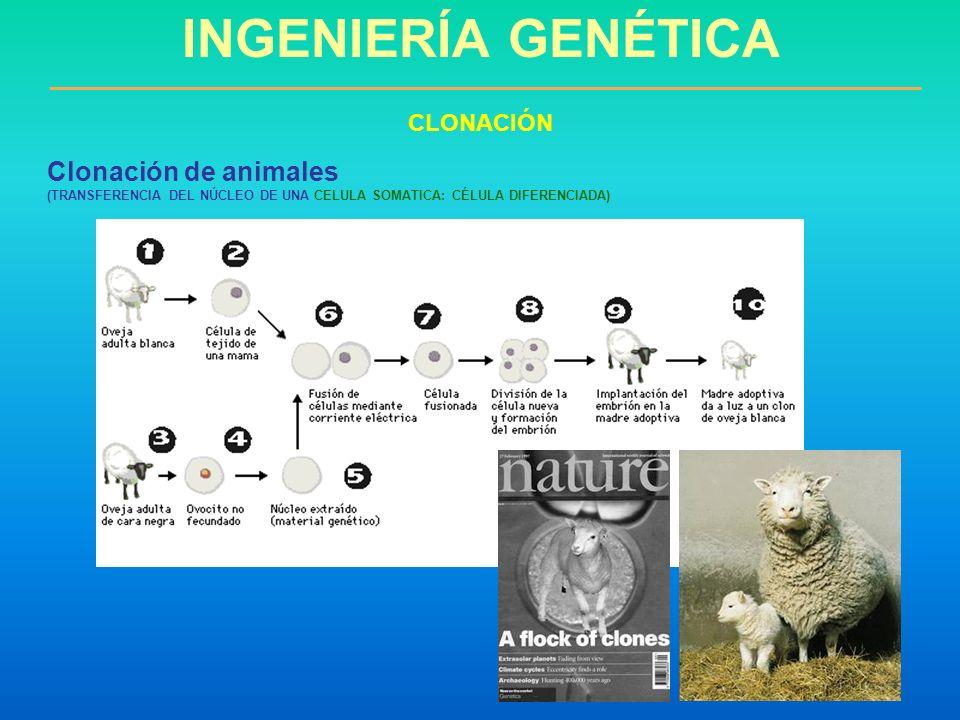 Clonación de animales (TRANSFERENCIA DEL NÚCLEO DE UNA CELULA SOMATICA: CÉLULA DIFERENCIADA) INGENIERÍA GENÉTICA CLONACIÓN