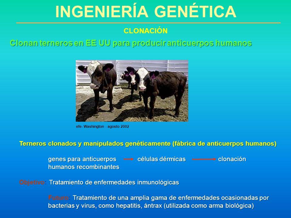 Terneros clonados y manipulados genéticamente (fábrica de anticuerpos humanos) genes para anticuerpos células dérmicas clonación humanos recombinantes