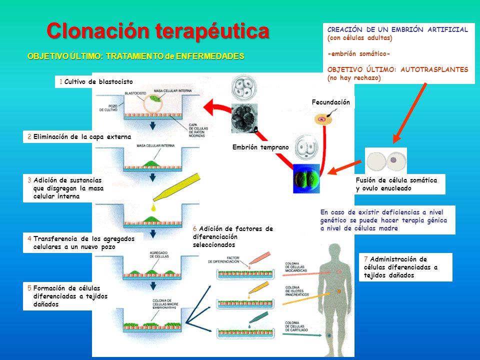 En caso de existir deficiencias a nivel genético se puede hacer terapia génica a nivel de células madre 1 Cultivo de blastocisto Fecundación Embrión t