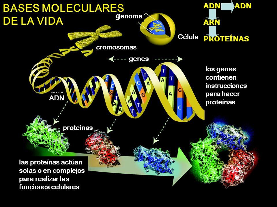 g enoma Célula cromosomas genes los genes contienen instrucciones para hacer proteínas ADN proteínas las proteínas actúan solas o en complejos para re