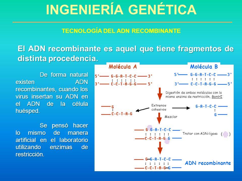 El ADN recombinante es aquel que tiene fragmentos de distinta procedencia. De forma natural existen ADN recombinantes, cuando los virus insertan su AD