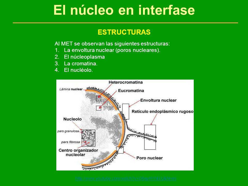 El núcleo en interfase ESTRUCTURAS 1.ENVOLTURA NUCLEAR a.Dos membranas unitarias: una exterior y otra interior con un espacio entre ellas llamado espacio perinuclear, proviene del retículo endoplasmático granular y está conectada con él.