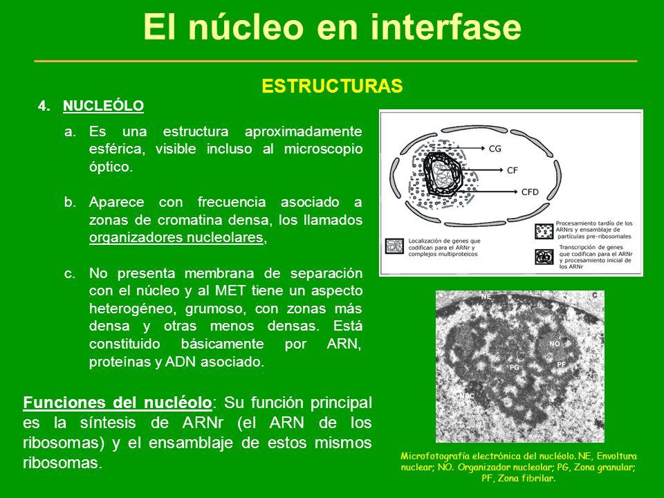 El núcleo en interfase FUNCIONES 1.La trasmisión de la información genética de los ascendientes a los descendientes y de una generación celular a la siguiente se realiza a través del núcleo celular.