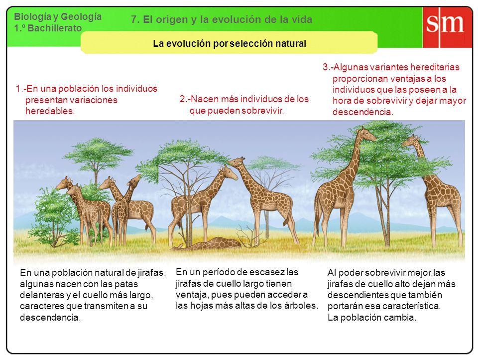 Biología y Geología 1.º Bachillerato 7. El origen y la evolución de la vida La evolución por selección natural 1.-En una población los individuos pres