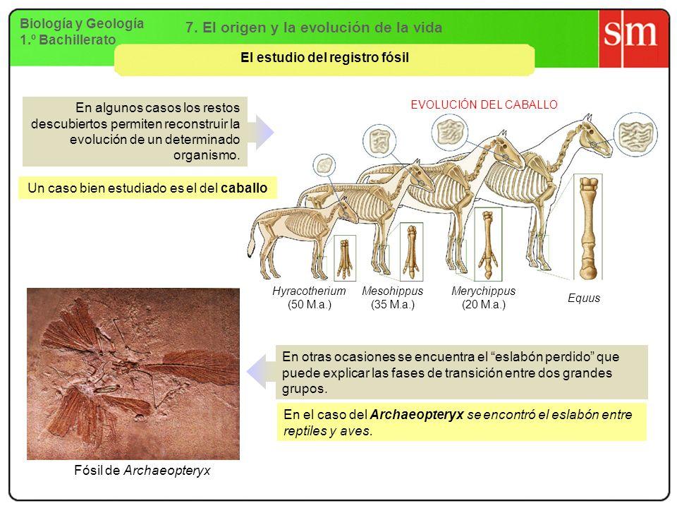Biología y Geología 1.º Bachillerato 7. El origen y la evolución de la vida El estudio del registro fósil EVOLUCIÓN DEL CABALLO Hyracotherium (50 M.a.