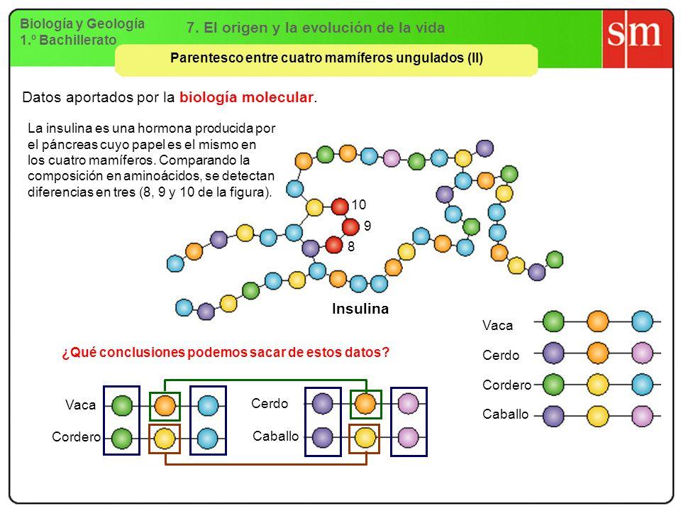 Biología y Geología 1.º Bachillerato 7. El origen y la evolución de la vida Parentesco entre cuatro mamíferos ungulados (II) Insulina 10 9 8 Vaca Cerd