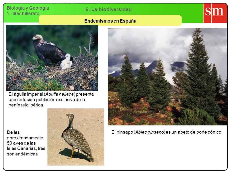 Biología y Geología 1.º Bachillerato 6. La biodiversidad Endemismos en España El águila imperial (Aquila heliaca) presenta una reducida población excl