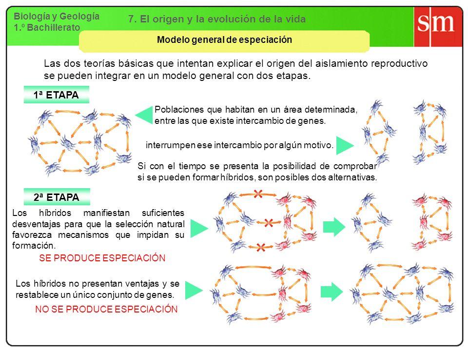 Biología y Geología 1.º Bachillerato 7. El origen y la evolución de la vida Modelo general de especiación Las dos teorías básicas que intentan explica