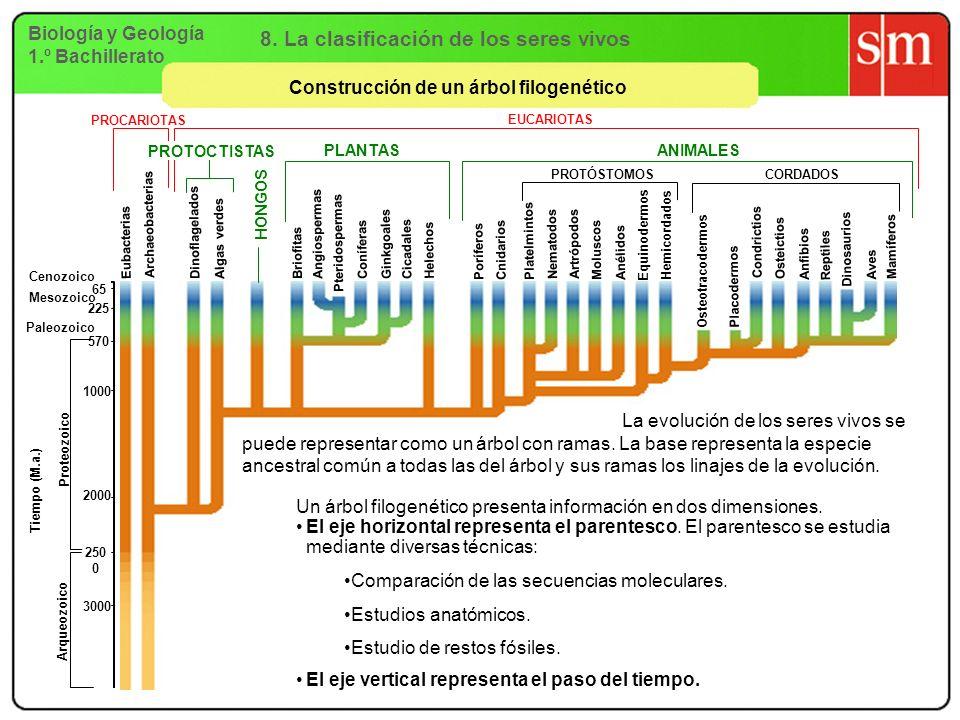 Biología y Geología 1.º Bachillerato 8. La clasificación de los seres vivos Construcción de un árbol filogenético PROCARIOTAS Eubacterias Archaeobacte