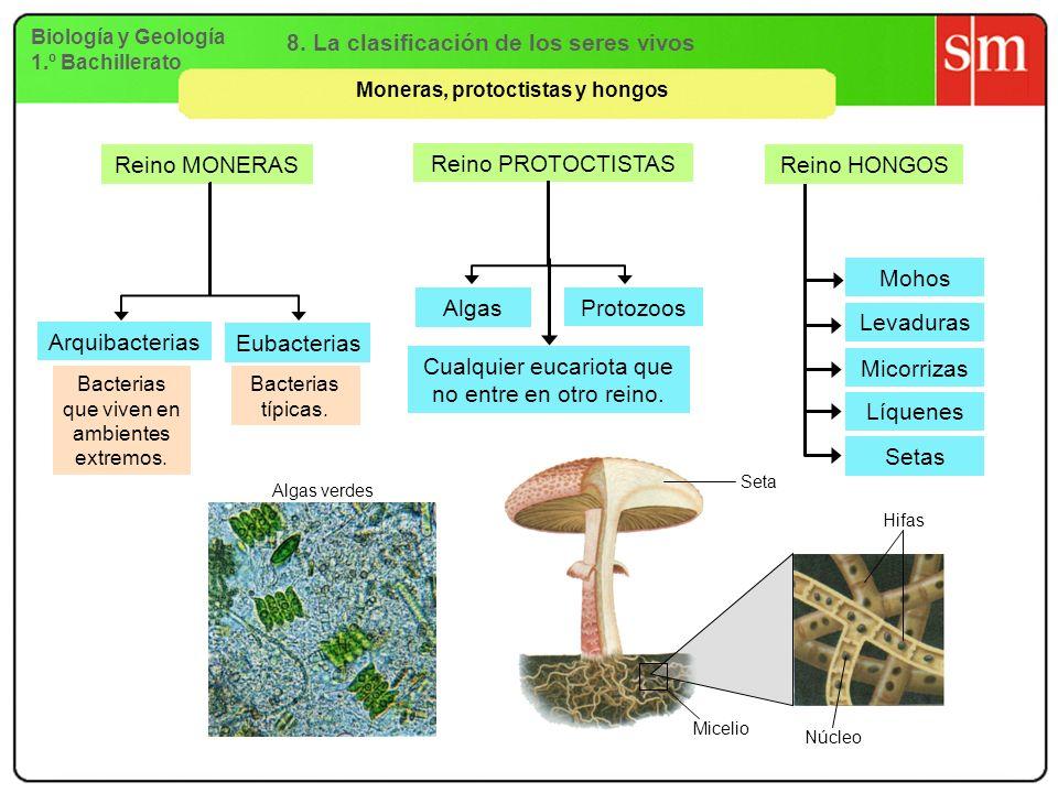 Biología y Geología 1.º Bachillerato 8. La clasificación de los seres vivos Moneras, protoctistas y hongos Reino MONERAS Reino PROTOCTISTAS Arquibacte