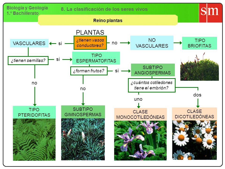 Biología y Geología 1.º Bachillerato 8. La clasificación de los seres vivos Reino plantas VASCULARES NO VASCULARES SUBTIPO GIMNOSPERMAS CLASE MONOCOTI