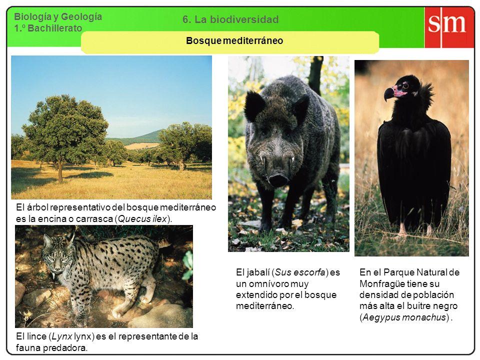 Biología y Geología 1.º Bachillerato 6. La biodiversidad Bosque mediterráneo El árbol representativo del bosque mediterráneo es la encina o carrasca (