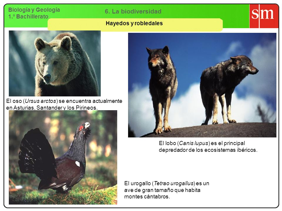 Biología y Geología 1.º Bachillerato 6. La biodiversidad Hayedos y robledales El oso (Ursus arctos) se encuentra actualmente en Asturias, Santander y