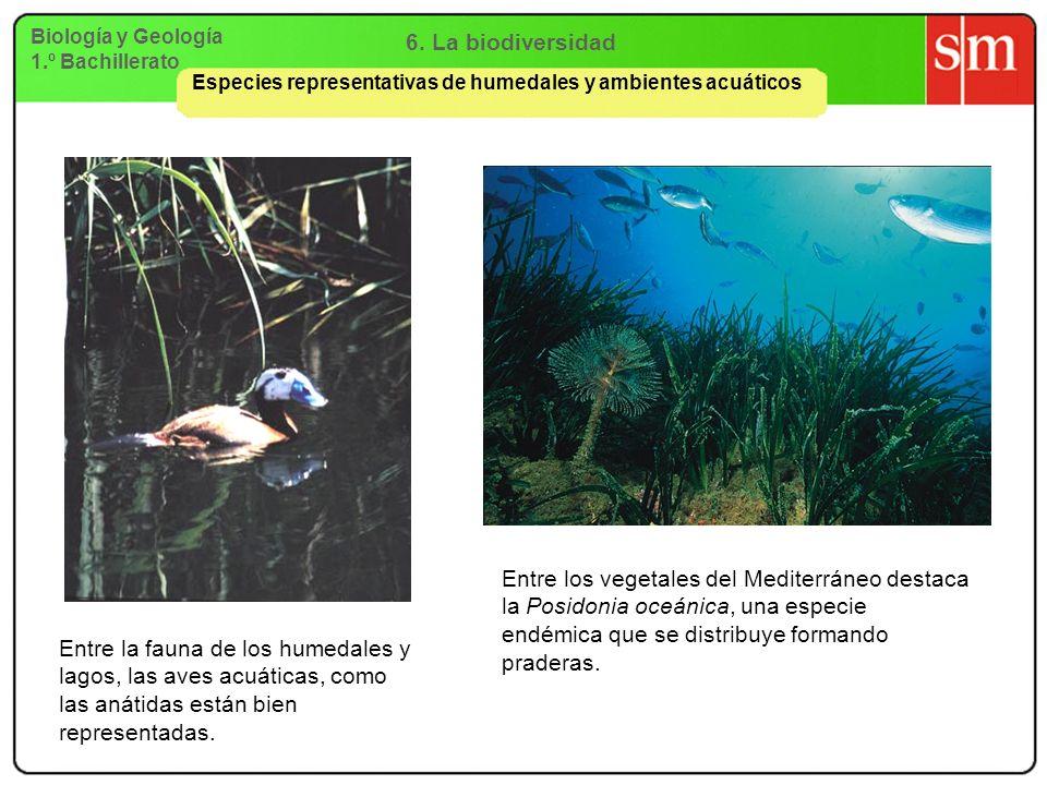 Biología y Geología 1.º Bachillerato 6. La biodiversidad Especies representativas de humedales y ambientes acuáticos Entre la fauna de los humedales y
