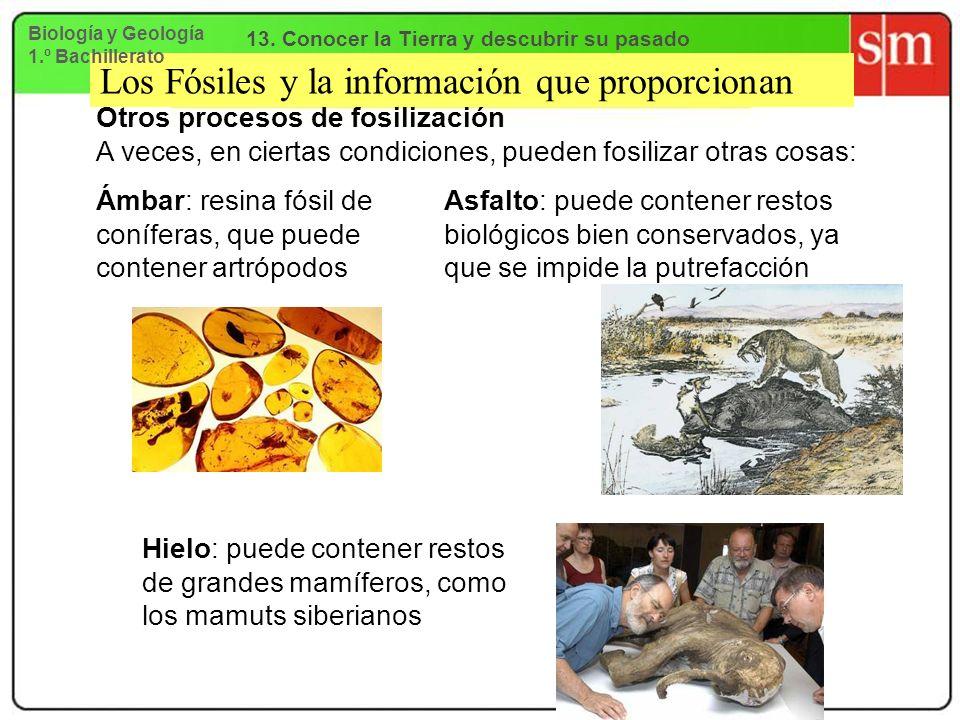 Los Fósiles y la información que proporcionan Otros procesos de fosilización A veces, en ciertas condiciones, pueden fosilizar otras cosas: Ámbar: res