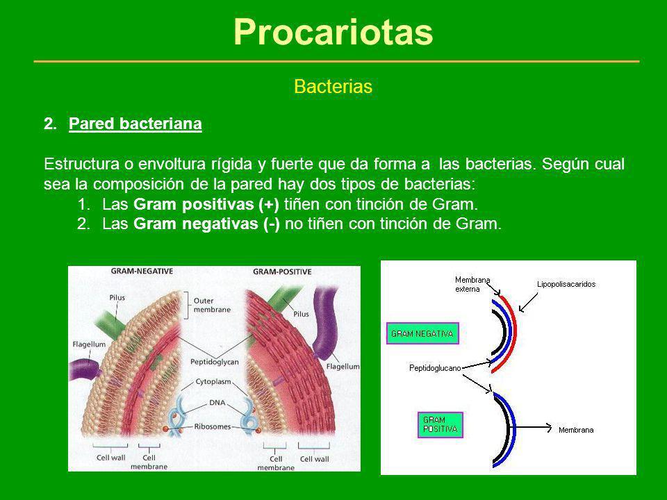 Procariotas Bacterias 2.Pared bacteriana Estructura o envoltura rígida y fuerte que da forma a las bacterias. Según cual sea la composición de la pare