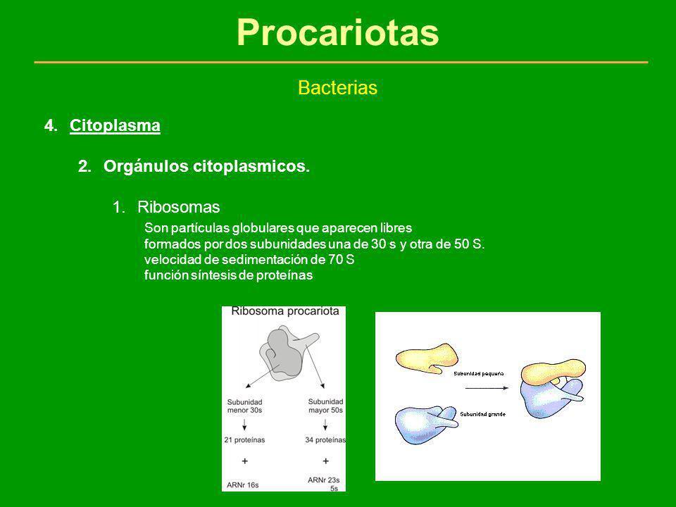 Procariotas Bacterias 4.Citoplasma 2.Orgánulos citoplasmicos. 1.Ribosomas Son partículas globulares que aparecen libres formados por dos subunidades u