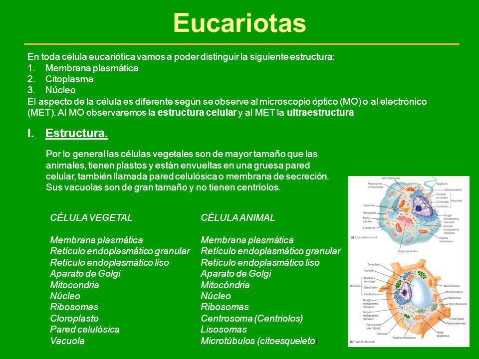 Eucariotas En toda célula eucariótica vamos a poder distinguir la siguiente estructura: 1.Membrana plasmática 2.Citoplasma 3.Núcleo El aspecto de la c
